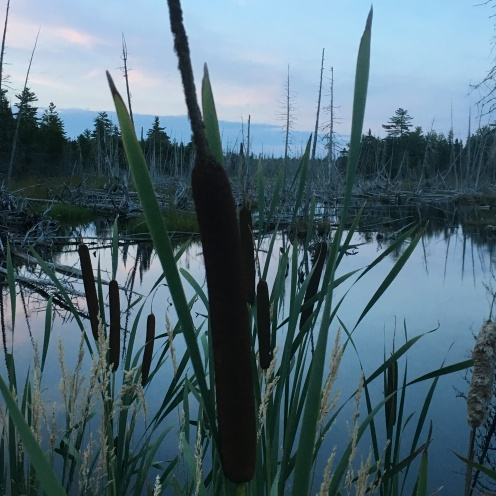 cattails in the wind