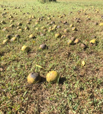 Black walnuts..lawn mowers nemesis