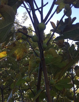 White fig tree