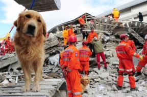 Golden-search-and-rescue-dog