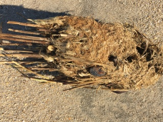 reed root clump