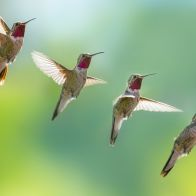 hummingbird-sequence-of-flight