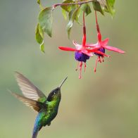 hummingbird-trumpet-flowers