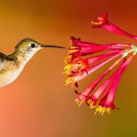 Hummingbird_Hero
