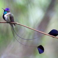 long tail hummer 2