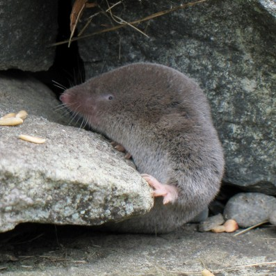 Grande musaraigne -- Northern Short-tailed Shrew Longueur / Length: approx. 10 cm (4 inches) North American mammal (order Insectivora) Mammifère nord-américain (ordre des insectivores) Bas-Saint-Laurent -- Province de Québec -- Canada 1892-2006 Canon PowerShot A620 Prise en septembre 2006 -- Taken in September 2006