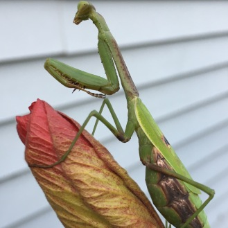 Pregnant Praying Mantis Noellie S Place
